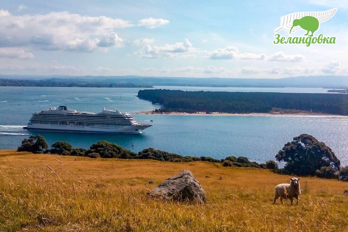 Новозеландская овца на лугу и панорама залива